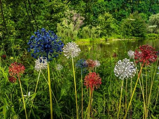 Alliums Flower Plant