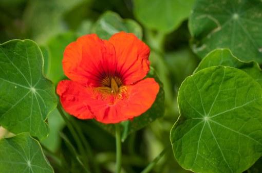 Nasturtim Plant